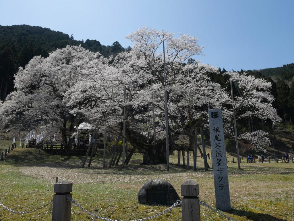岐阜で必見!日本三大桜~淡墨桜を見に行こう~町家ホテルbaisonから車で45分